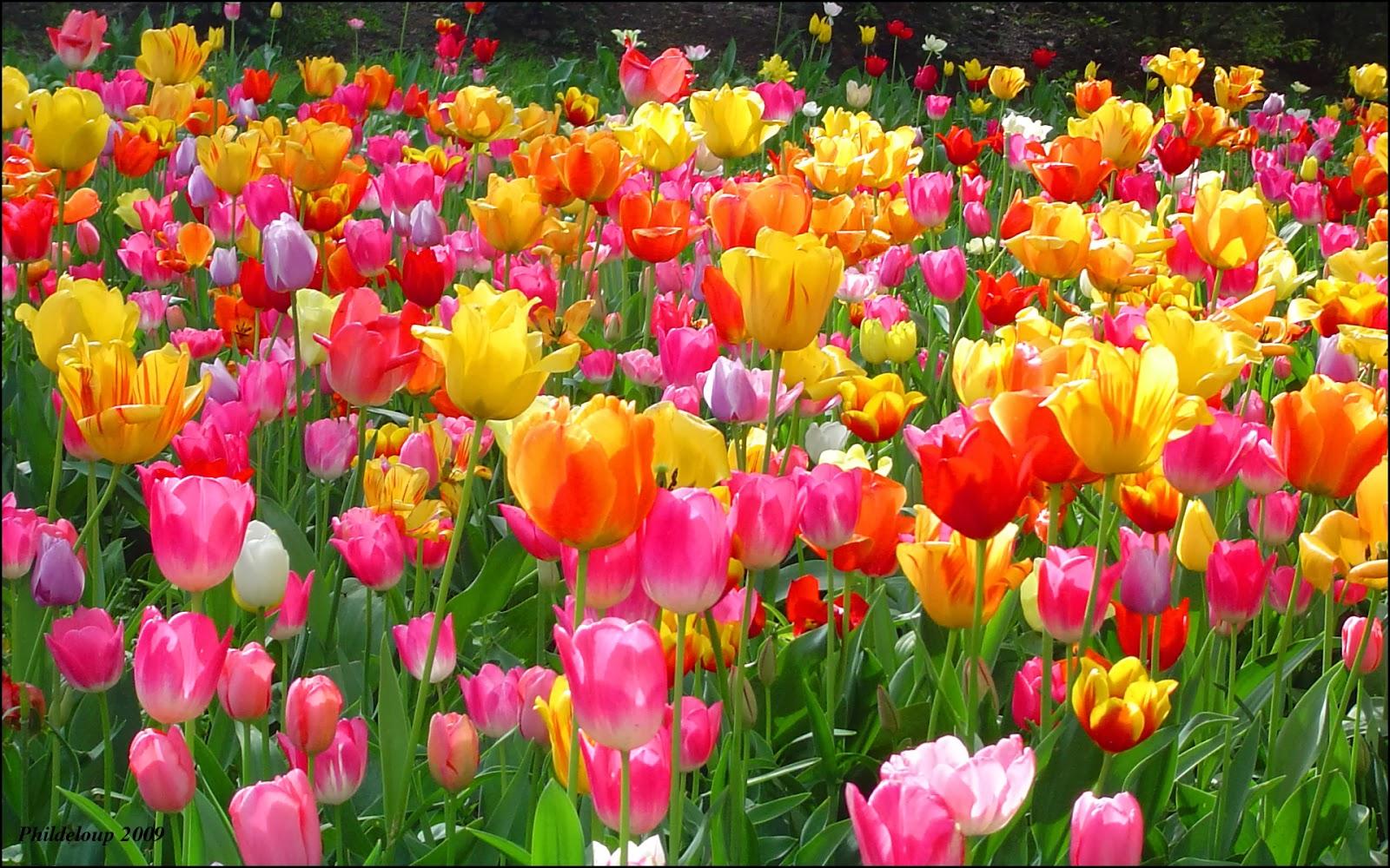 Garden: Latest Wallpapers Of Tulip For Desktop Backgroung