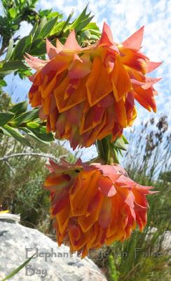 Liparia splendens in November