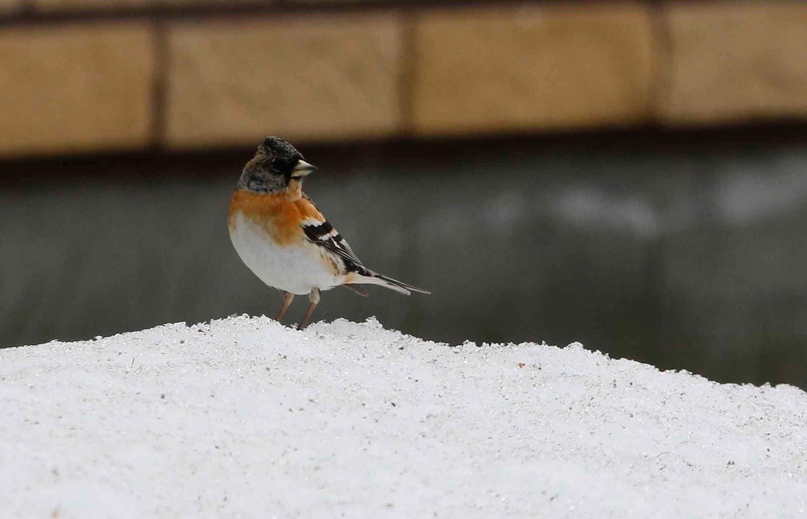 cold may birding in kajaani finnish boreal forest birding
