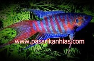 Ikan hias Paradise