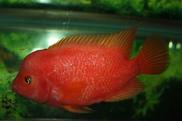 Images of Red Cichlid Hybrid - #rock-cafe