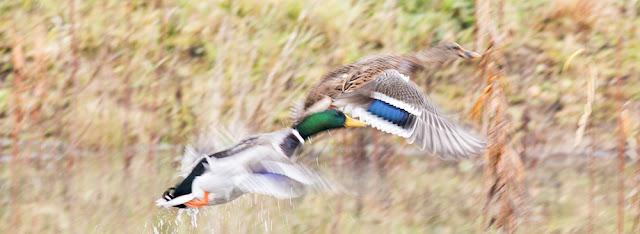 An action shot of Mallards taking to flight
