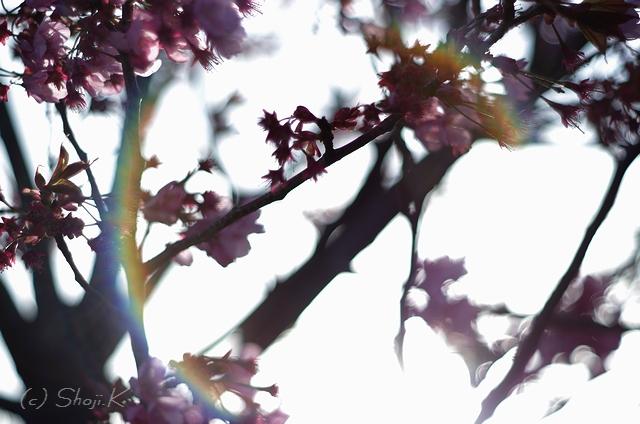 三春台の桜