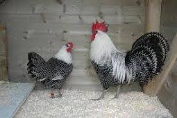 Harga Ayam Arab Afkir Dan Bebek Afkir
