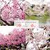 [SAKURA SEASON] Best Cherry Blossom Spot in Tokyo #SNOWMANTRAVEL