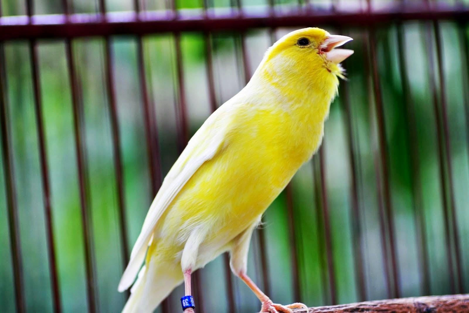 Cara Merawat Burung Kenari Agar Cepat Gacor