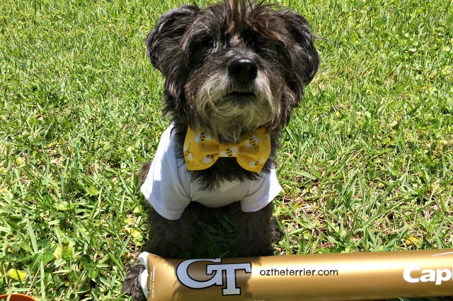 Oz in GT Yellow Jackets shirt with his bumble bee bow tie from Golden Woofs