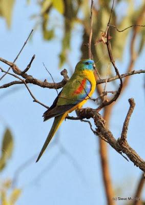 Periquito turquesa: Neophema pulchella