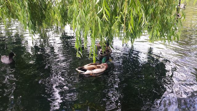 ducks in central park Chelmsford