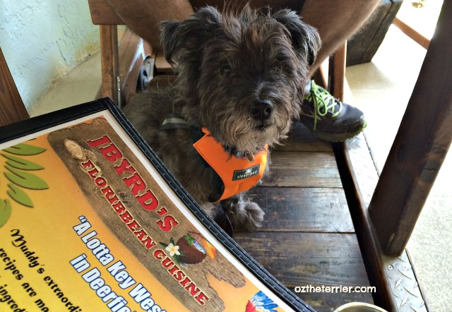 Oz wears Clickit Sport harness at JByrd's Muddy Waters in Deerfield Beach, Florida