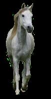 Cavalo branco em png