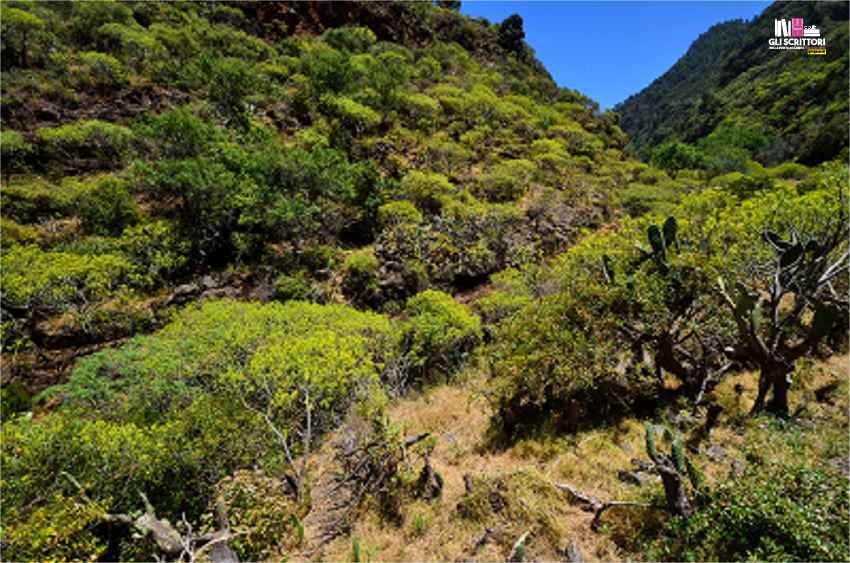 Le euforbie in fiore lungo la costa nord di La Palma