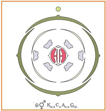 Biologi gonzaga morfologi organ tumbuhan rumus bunga juga menunjukkan kohesi dan adhesi dalam bagian karangan dan antara karangan diagram dan rumus bunga terdapat gambar 21 mewakili tanaman ccuart Choice Image