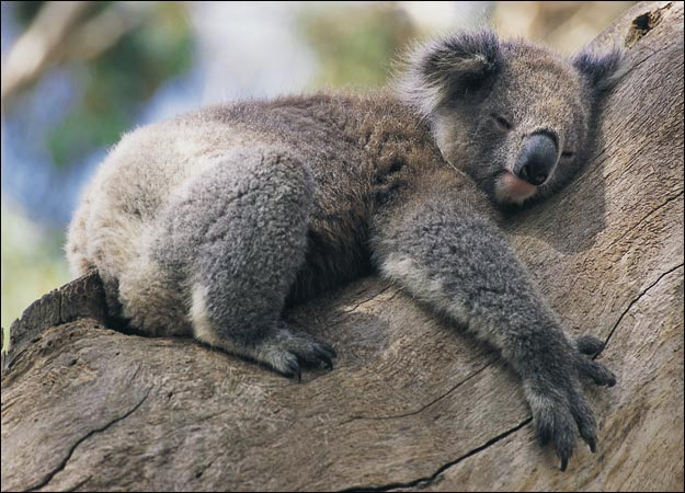 Funny Animals: Funny Koala Sleeping in Tree