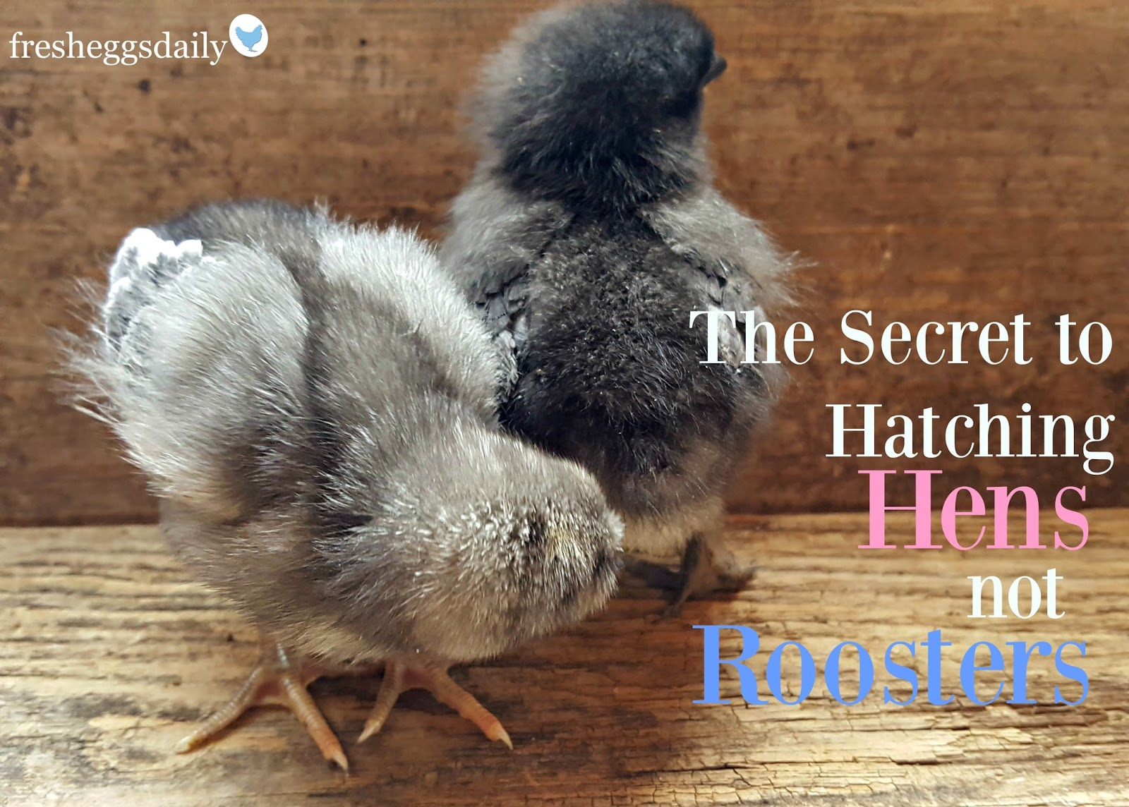 The Secret to Hatching Hens not Roosters! | Fresh Eggs Daily®