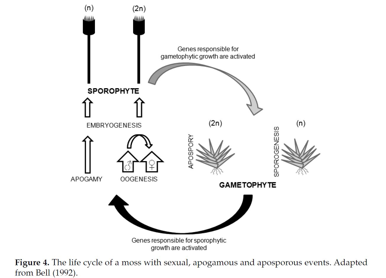 hight resolution of  and growth on epiphytic habitats since the early stage of the gametophytes protonema remain protected by the capsule or exospore spore wall