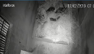 macan tutul makan anaknya yang baru lahir
