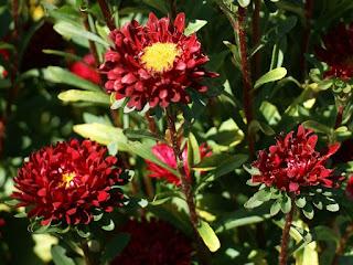 Callistephus chinensis Matsumoto scarlet - Reine marguerite Matsumoto scarlet