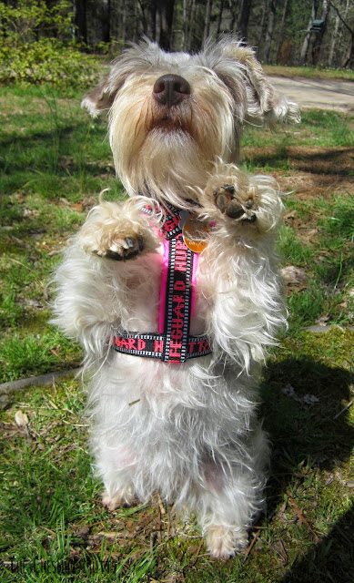 Dottie showing off her harness from Golly Gear