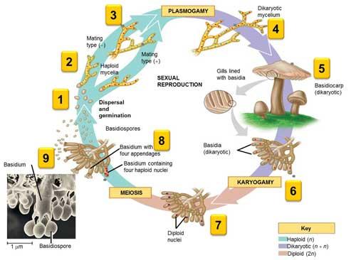 Siklus Hidup Basidiomycota