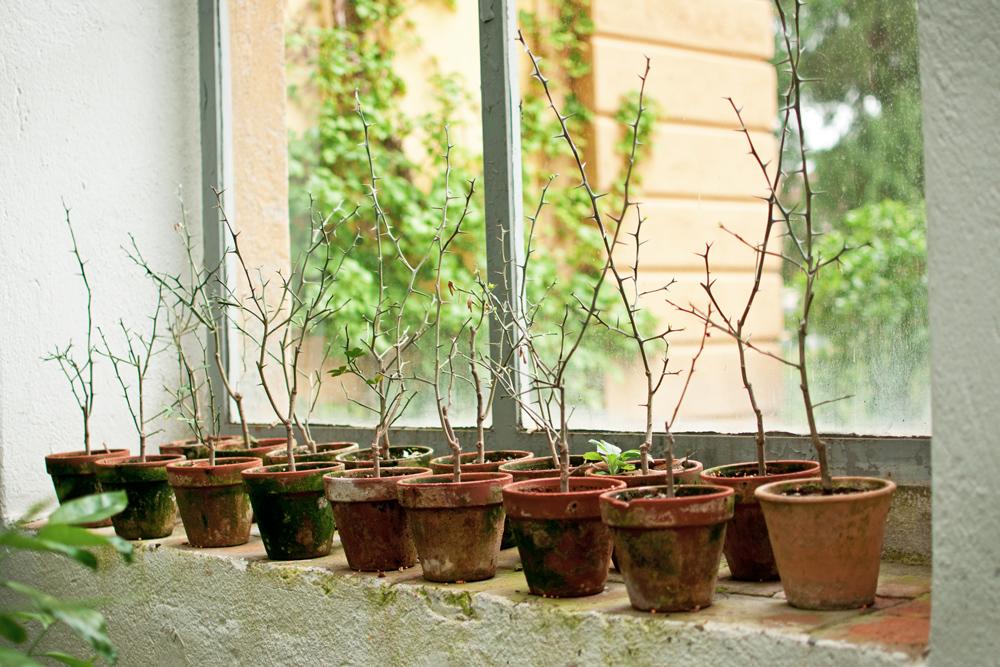 quelques pots contenant des arbres dans le jardin des simples de Florence