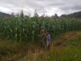 Babinsa dan Petani Jaga Tanaman Jagung 20 Hektar