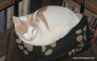 Alexander the large cat in the small cat bed