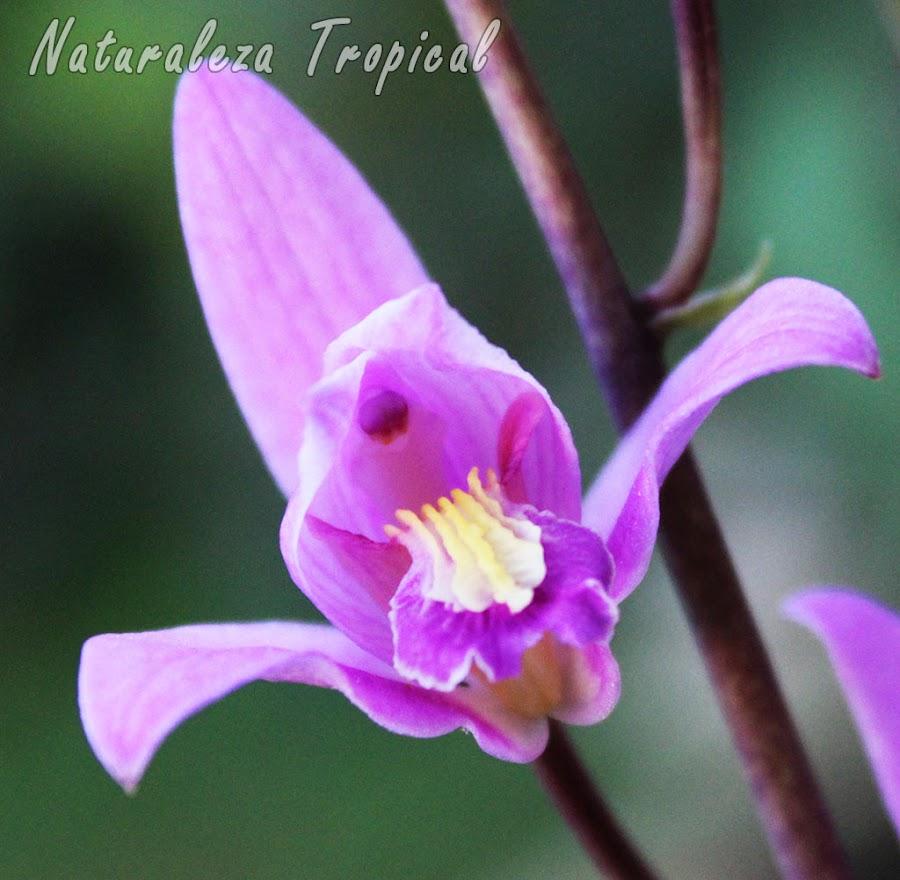 Flor característica de la Orquídea de Autopista o Candelaria, Bletia purpurea