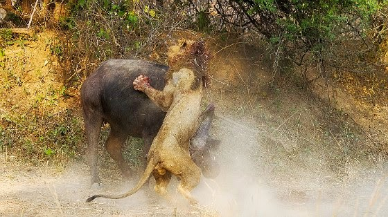 Battle to the death: Buffalo and lion endure epic hour long fight via geniushowto.blogspot.com incredible animal encounter photos and videos