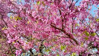magenta tree photo