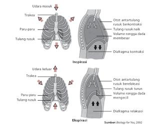 Pengertian Inspirasi Dan Ekspirasi Dalam Sistem Pernafasan