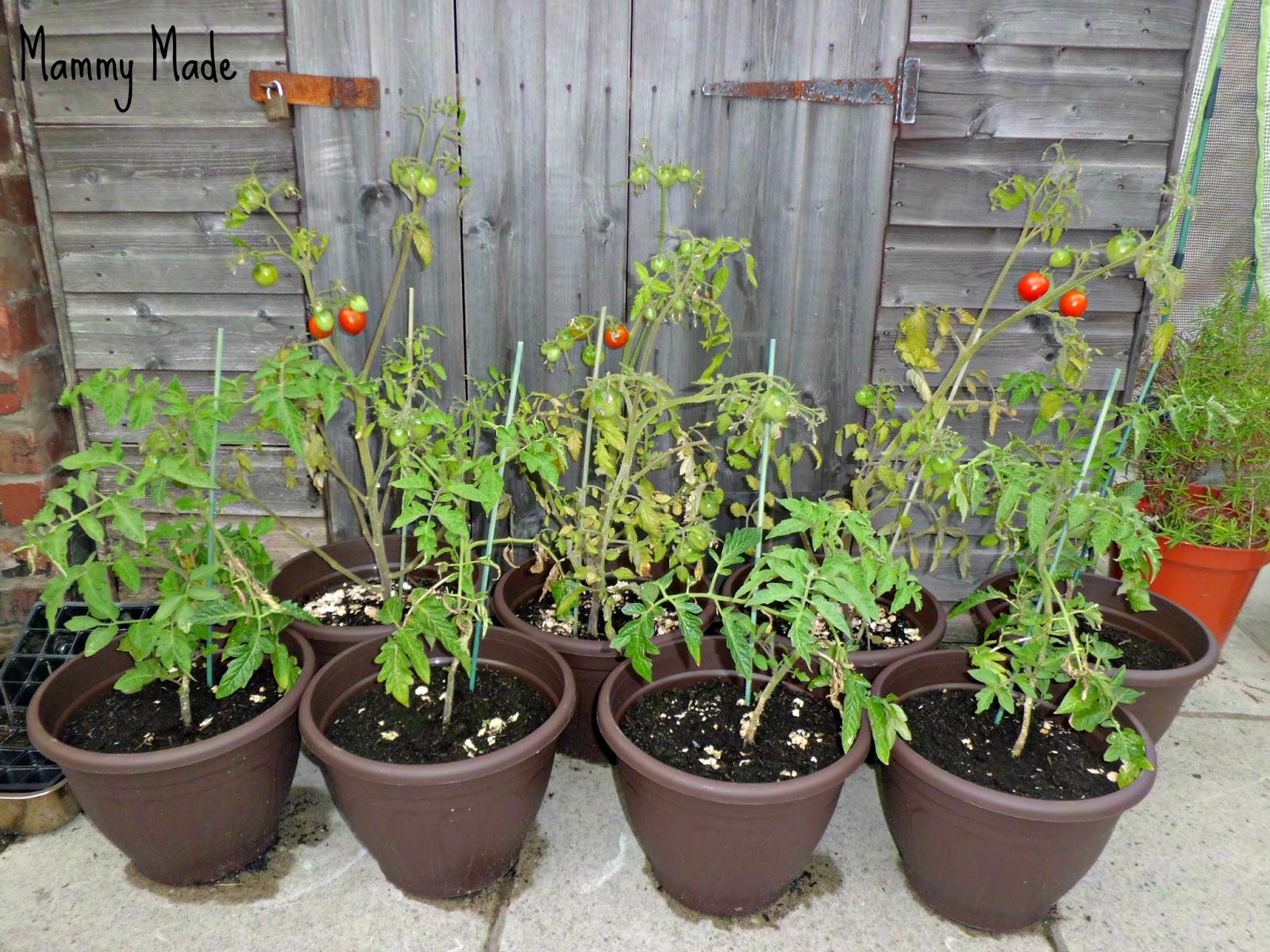 Mammy Made: My Homegrown Vegetable Patio Garden - Week 16