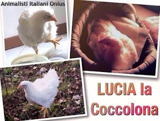 Lucia...un pollo caduto da un camion e oggi Animaletto da Compagnia!