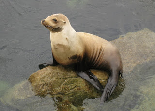Young sea lion on a rock, Monterey, California