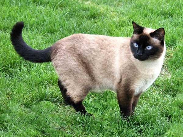 Kucing Siamese (Siam)