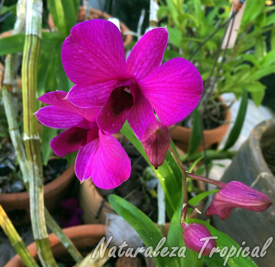 Flores púrpuras y botones florales de la orquídea Dendrobium bigibbum