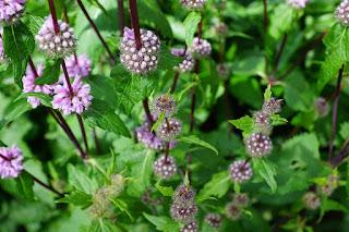 Fioletowe kwiaty mięty