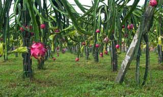 dragon fruit tree at dragon fruit farm ulu tiram