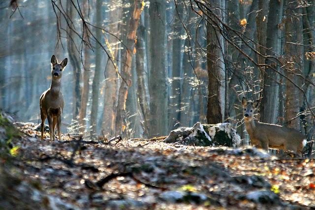 deers in the sun