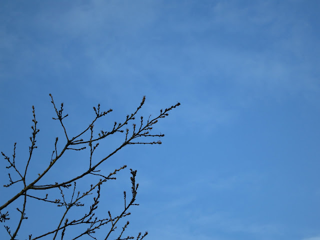 Silhouettes of Turkey Oak (Quercus cerris) twigs against blue sky