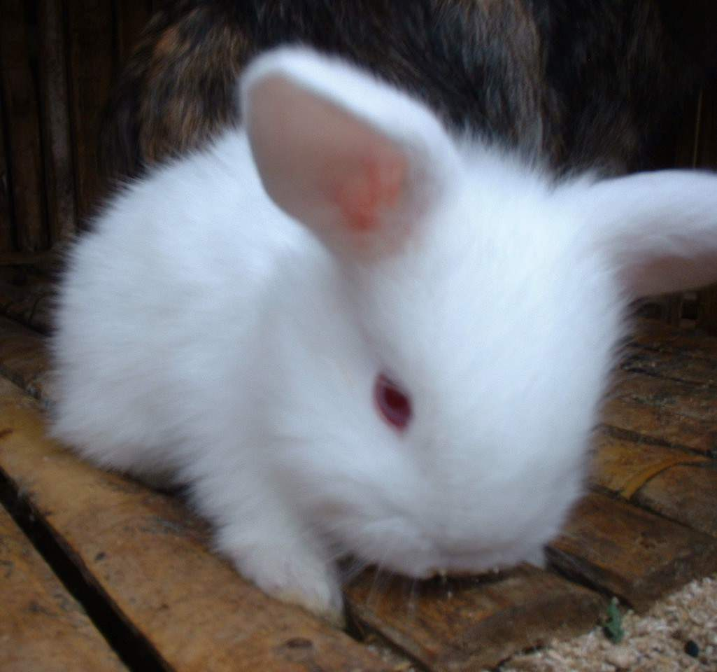 Cute White Baby Rabbits Wallpapers Hewan Peliharaan Abu Kelabu