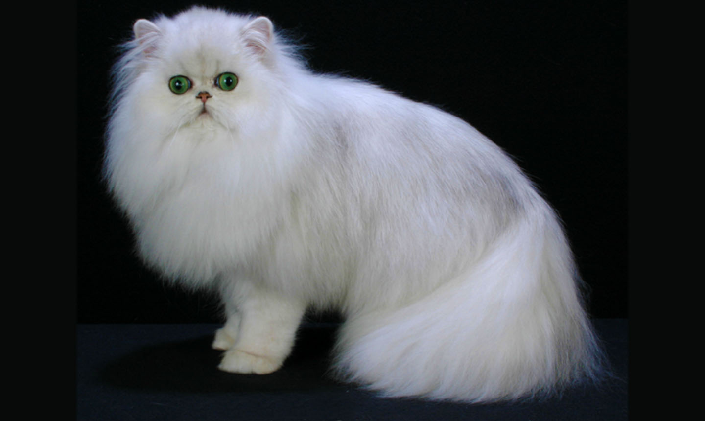 Merawat Kucing Persia Sendiri Dirumah