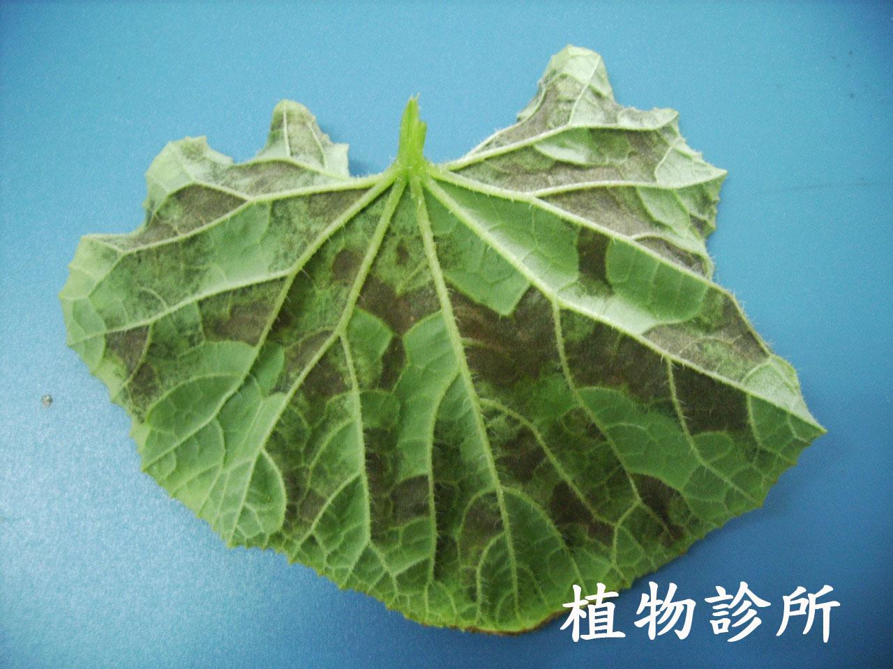 植物診所: 甜瓜露菌病(Downy mildew)