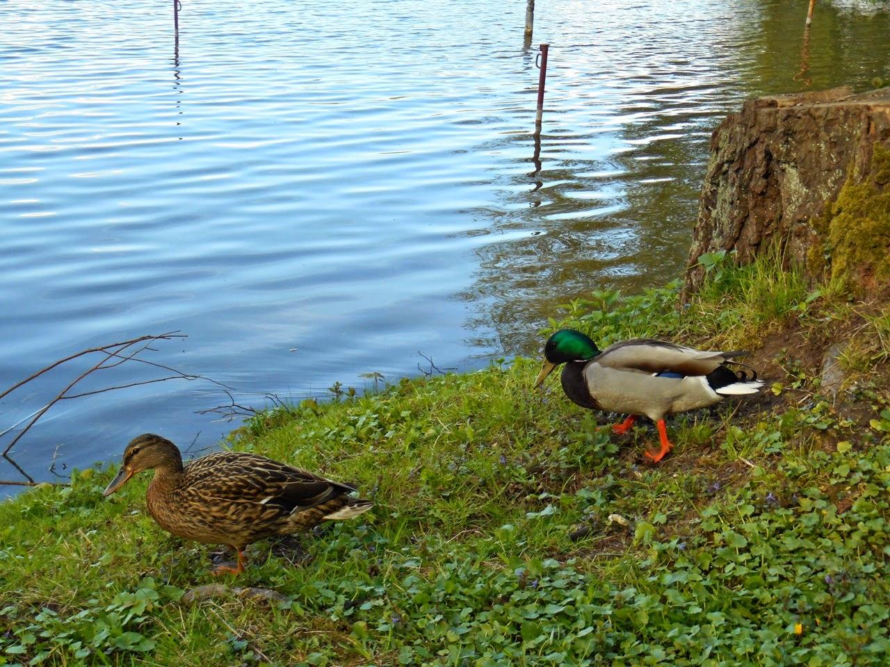 kaczor, woda, jezioro, ptaki wodne, Wolsztyn