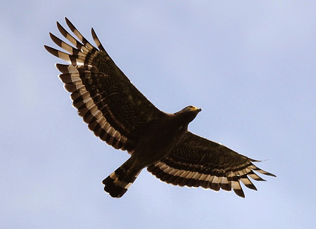 Tanjung Tuan Crested Serpent-Eagle
