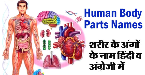 Human Body Parts Name in English and Hindi with Pictures