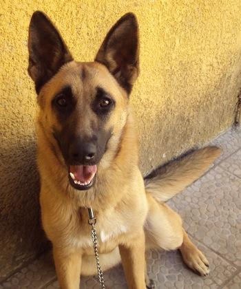 Alsatian Dog Olx Lahore
