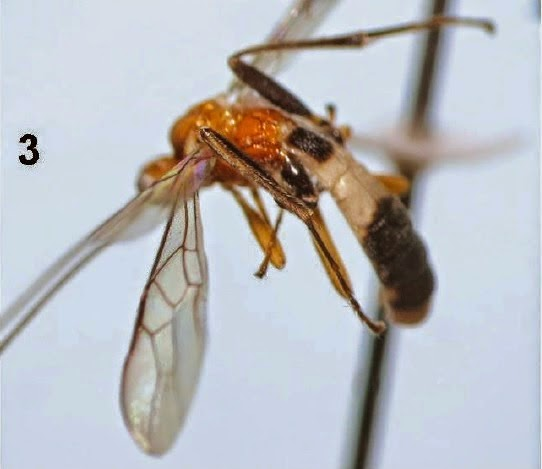 http://sciencythoughts.blogspot.co.uk/2014/08/four-new-species-of-braconid-wasps-from.html
