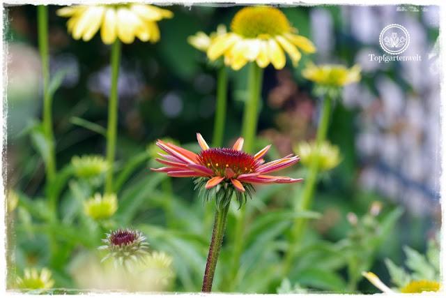Buchrezension Alte Staudenschätze - wissenswertes über Gartenstauden - Sonnenhut im Garten - Gartenblog Topfgartenwelt