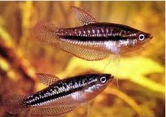 Pygmy Gourami, Ikan hias air tawar terindah Pygmy Gourami Emas